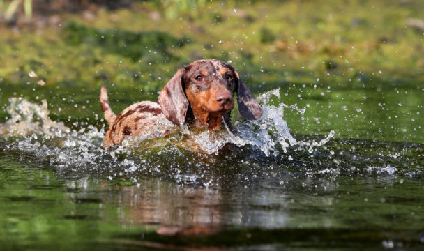 Dog sausage-dog Dachsund splashing in river water